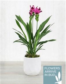 plants: Purple Curcuma Plant in White Ceramic Bowl!