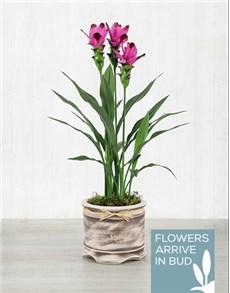 plants: Purple Curcuma Plant in Pot!