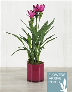 flowers: Purple Curcuma Plant in Pink Cylinder Vase!