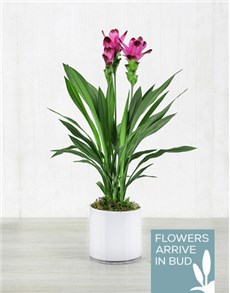 plants: Purple Curcuma Plant in White Cylinder Vase!