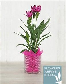 plants: Purple Curcuma Plant in Crystal Cylinder!
