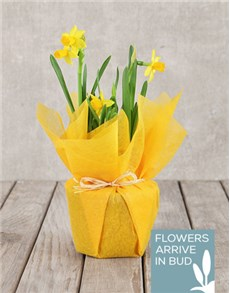 plants: Daffodil Plant in Tissue Paper!