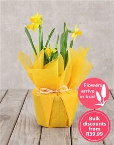 plants: Daffodil Plant in Tissue Paper in Bulk!
