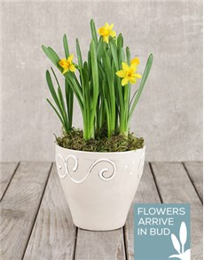 gifts: Daffodil Plant in Ceramic Pot!
