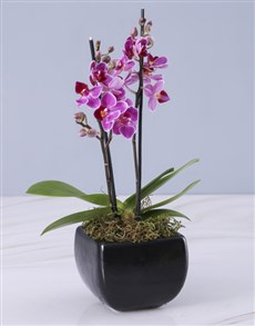 flowers: Mini Orchid in a Glazed Vase!