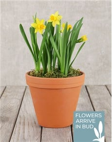 plants: Daffodil Plant in Pot!