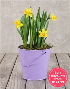 plants: Daffodil Plant in Purple Bucket in Bulk!