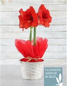 flowers: Red Amaryllis in White Basket!