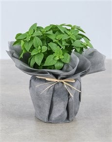 plants: Basil Herbs in Wrapping!