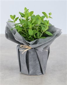 plants: Mint Herbs in Wrapping!