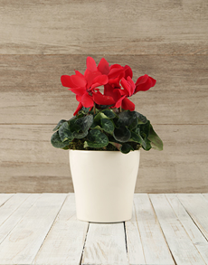 plants: Cyclamen in White Ceramic Pot!