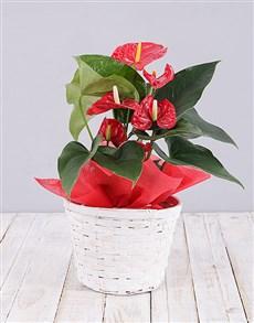 flowers: Red Anthurium Plant Basket!