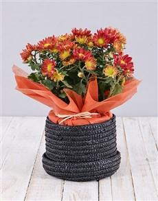 flowers: Chrysanthemum Plant in Hat Box!