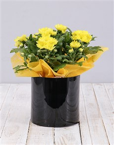 plants: Yellow Chrysanthemum Plant in Black Cylinder Vase!