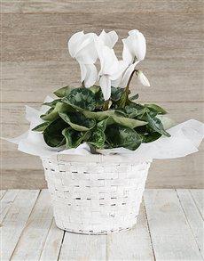 plants: White Cyclamen in a Chrysanth Basket!