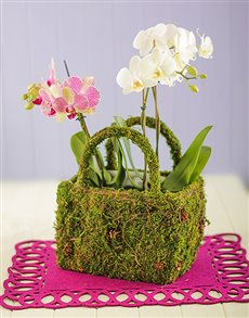 plants: Double Mini Orchids in a Moss Basket!