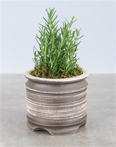 plants: Rosemary Plant in Rustic Ceramic Pot!