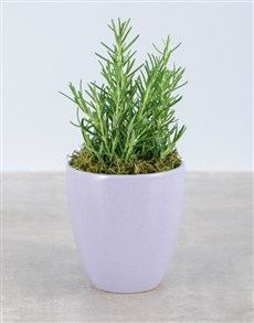 plants: Rosemary Plant in Glazed Pot!