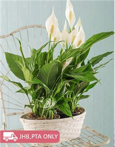 plants: 2 Spathiphyllum Plants in a Basket!