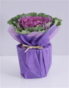 plants: Purple Kale Plant in Wrapping!