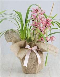 plants: Pink Cymbidium Orchid in Hessian!