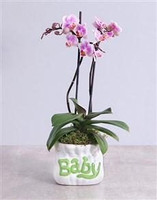 plants: Midi Phalaenopsis Orchid in Green Baby Vase!