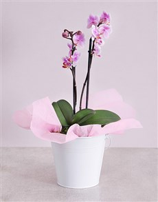 plants: Midi Phalaenopsis Orchid in White Bucket!