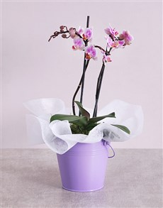 plants: Midi Phalaenopsis Orchid in Purple Bucket!