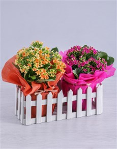 flowers: Cerise and Orange Kalanchoe Plants in Fence!