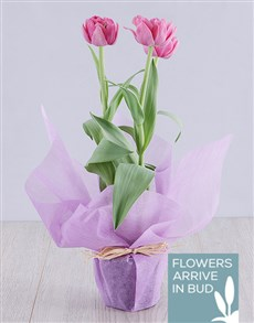plants: Purple Tulip Plant in Wrapping!