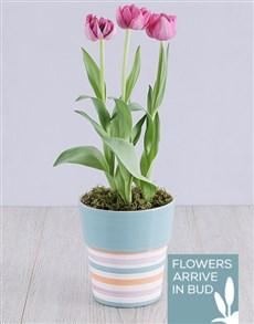 plants: Purple Tulip Plant in Striped Pot!
