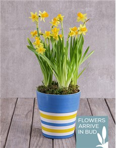 plants: Daffodil Plant in Striped Ceramic Pot!