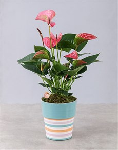 plants: Pink Anthurium in Striped Pot!