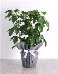 plants: Granadilla Fruit Tree Plant in Tissue Paper!