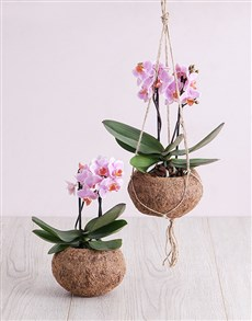 flowers: Pink Midi Orchid Kokedama!