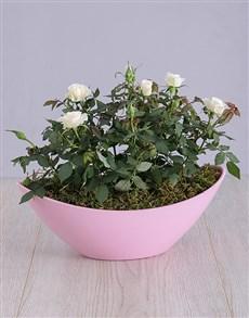 plants: Rose Bush in Pink Planter!