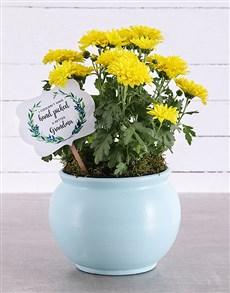 plants: Grandma Chrysanthemum in Blue Pottery!