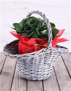 gifts: Strawberry Plant in Red Tissue Paper Basket!