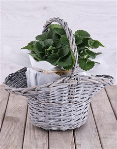 plants: Strawberry Plant in White Tissue Paper Basket!