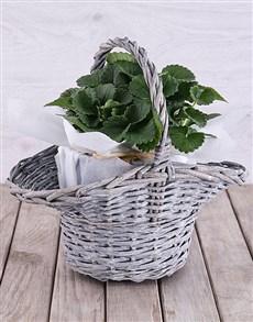 plants: Strawberry Plant in White Tissue Paper Basket!