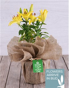 plants: Keep Calm Potted Yellow Asiatic Lily!