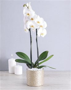 plants: White Phalaenopsis Orchid in Round Pot!