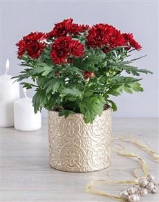 flowers: Maroon Chrysanthemum Pot!
