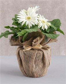 flowers: Mini Gerbera Plant in Hessian Wrapping!