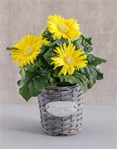 flowers: Mini Gerbera Plant in Flower Basket!
