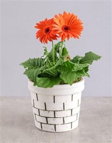 plants: Mini Gerbera Plant in Brick Pot!