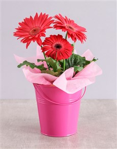 flowers: Pink Mini Gerbera Plant Bucket!