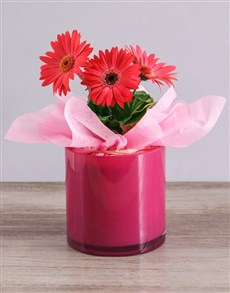 plants: Mini Gerbera Plant in Pink Solid Vase!