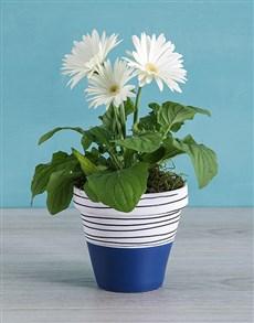 plants: Mini Gerbera Plant in Blue Striped Pot!