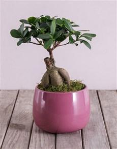 plants: Ficus Bonsai Tree in Purple Pot!